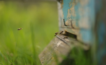 Sabe o que fazer se uma abelha entrar no seu carro?